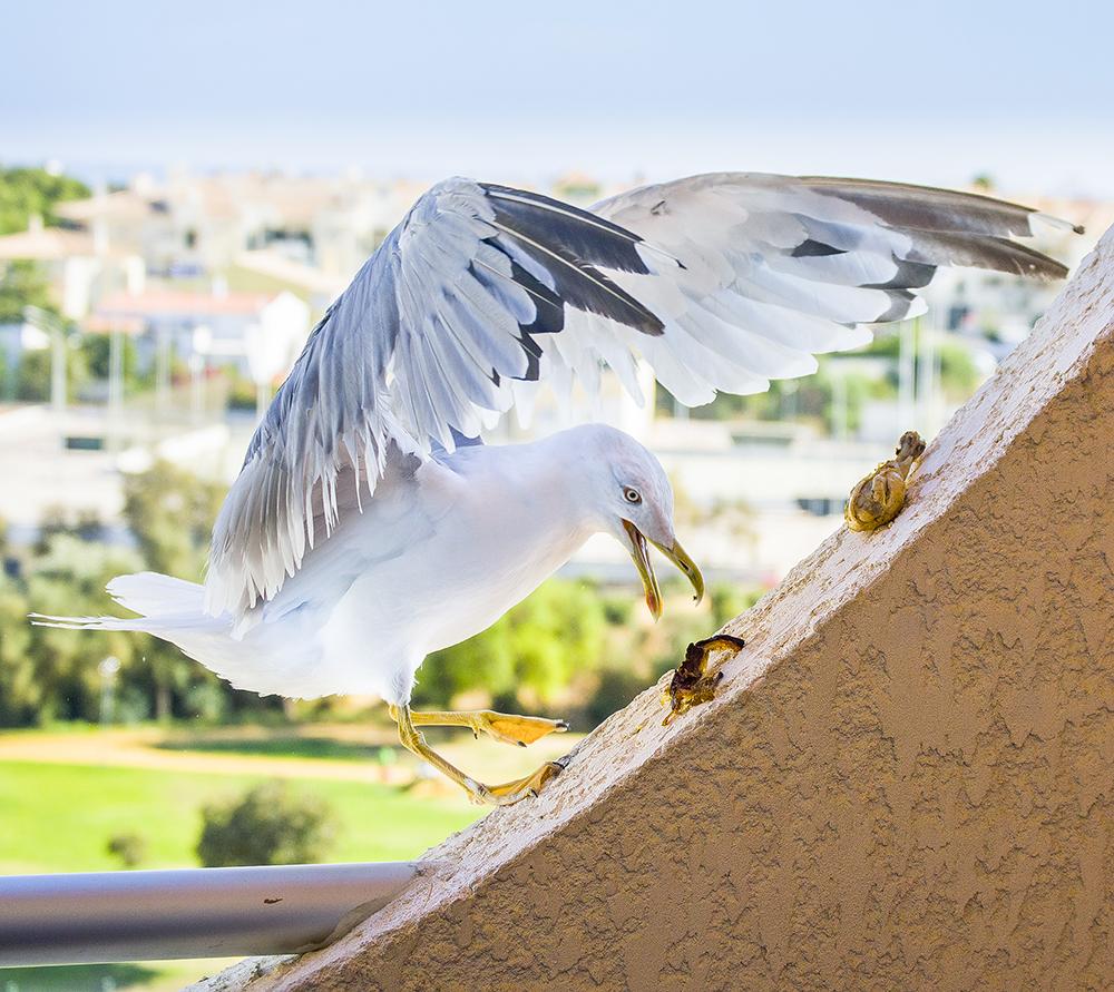Albufeira-Gulls-3.jpg