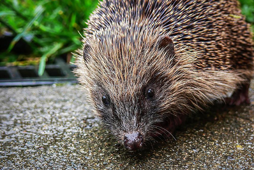 Hungry-Hedgehog.jpg