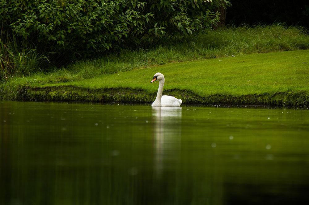 Swan-reflections.jpg
